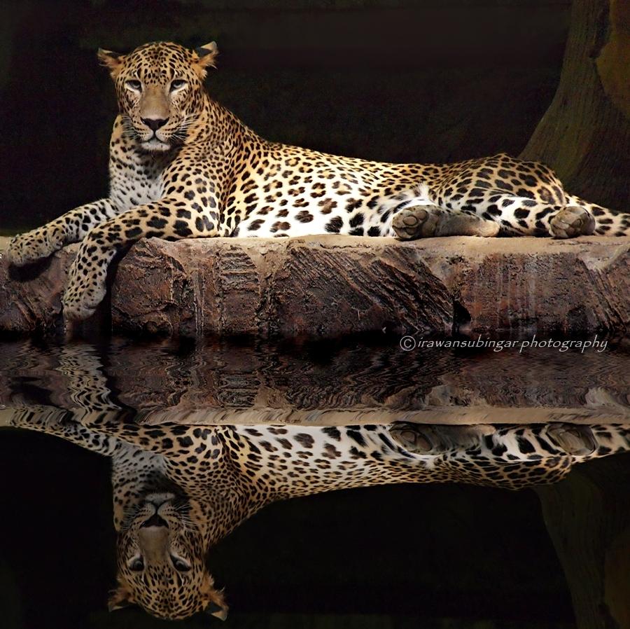 Kotiya, leopardos de Sri Lanka