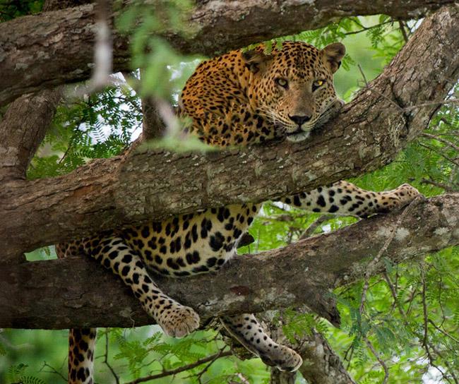 Leopardo macho en Yala, Sri Lanka. Foto: Sanji