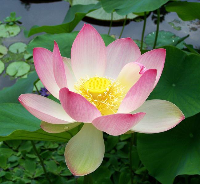 Flores de Sri Lanka